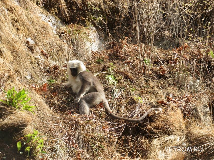 лангур на пути трекинга Аннапурна Непал