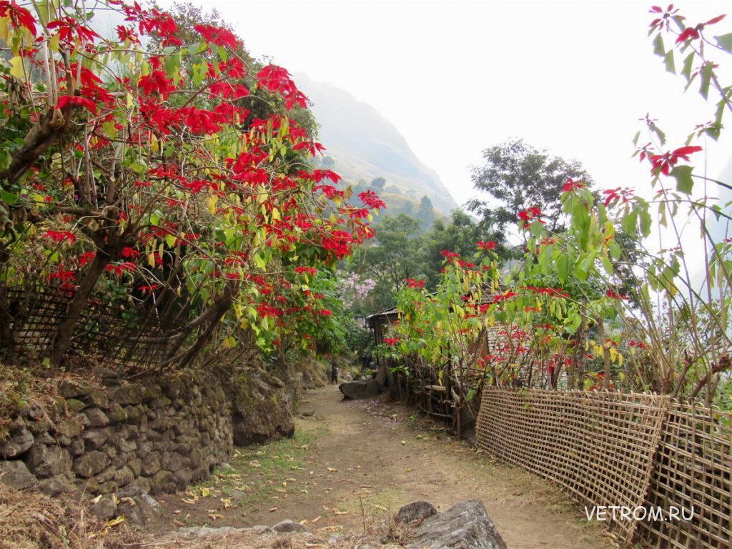 рождественские деревья с ярко-красными цветами Непал